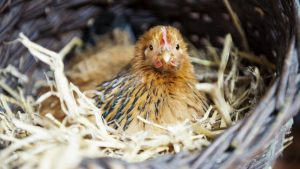 kip, eend, kwartel, kalkoen en eitjes